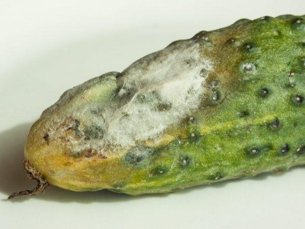 Плод, пораженный серой гнилью