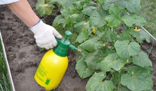 Справиться с «агрессором» помогают опрыскивания травяными настоями