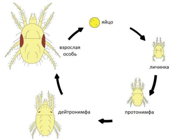 Как развивается паукообразное