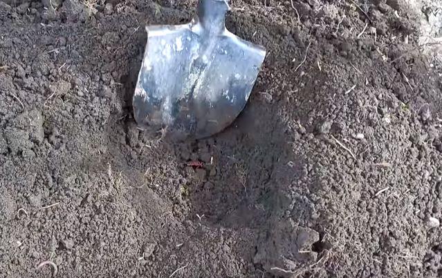 Выкапывают яму с учетом размера корней