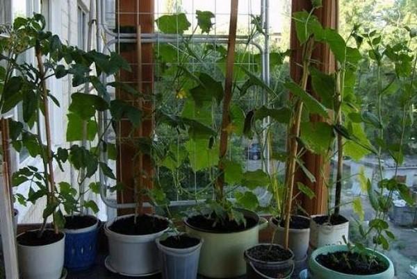 Подвязка будет максимально полезной, поскольку предоставит растению опору для роста