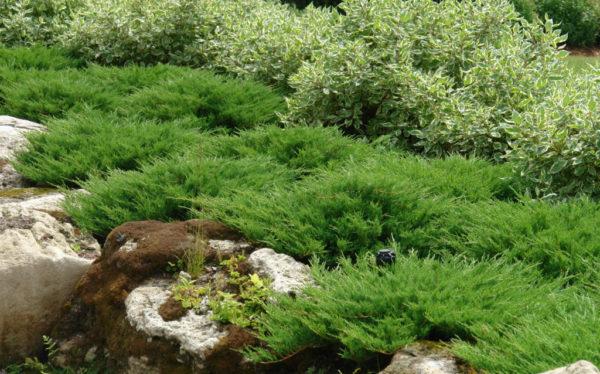 Ярусное расположение ветвей кустарника