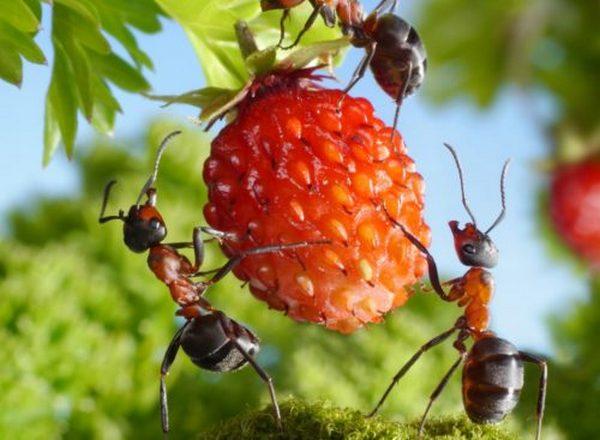 Часто муравьи прогрызают сладкие плоды