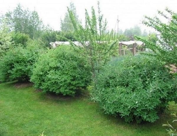 Нужно сажать кустарники на расстоянии от полутора метров друг от друга