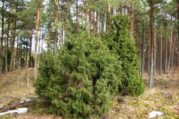 При благоприятных условиях дерево живет до 600 лет