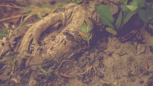 Муравьи повреждают корневую систему дерева