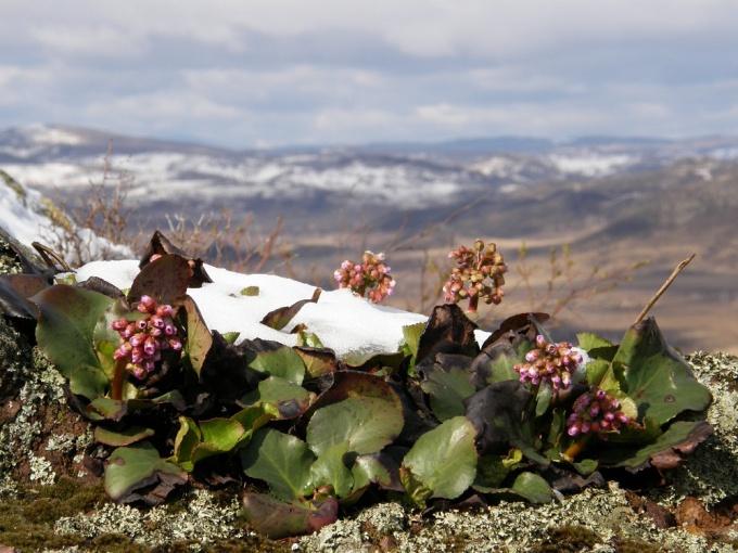Бадан не боится отрицательных температур и повсеместно встречается в северных регионах