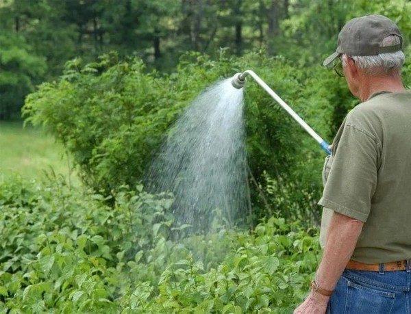 В жаркое время года нужно активно поливать жимолость