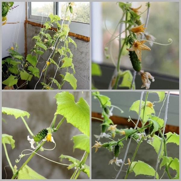 Можно высаживать овощи на балконе, но если он хорошо утеплен и нет сквозняка