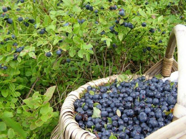 Первые ягоды можно собирать уже в июне