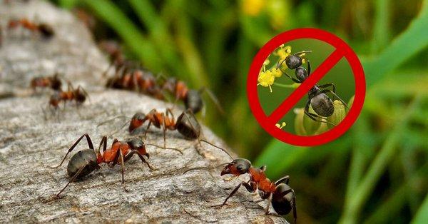 Важно избавляться от муравьев правильно, иначе можно ухудшить ситуацию