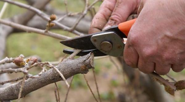 Когда куст «постареет», можно удалить старые ветви