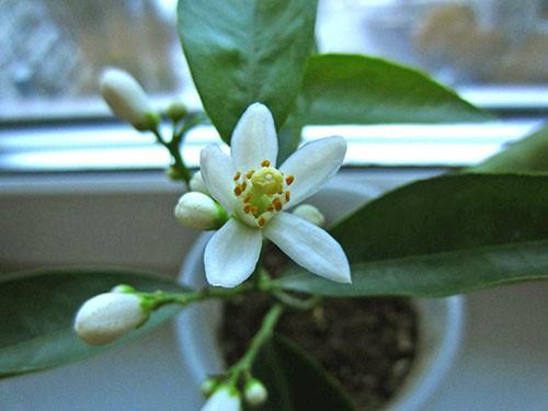 Мандариновый цветок