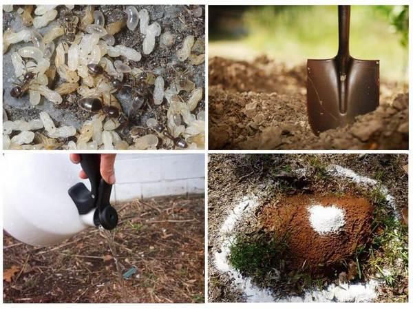 Возможно, с помощью кипятка получится уничтожить поселение муравьев