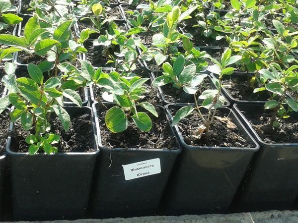 Лучше прорастить семена в тепле, а потом высадить их в грунт