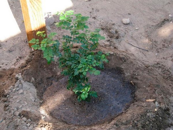 После посадки ростки нуждаются в усиленном уходе