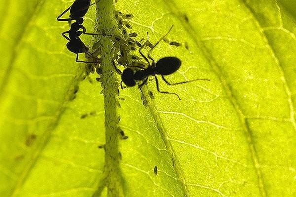 Муравьи могут навредить растениям