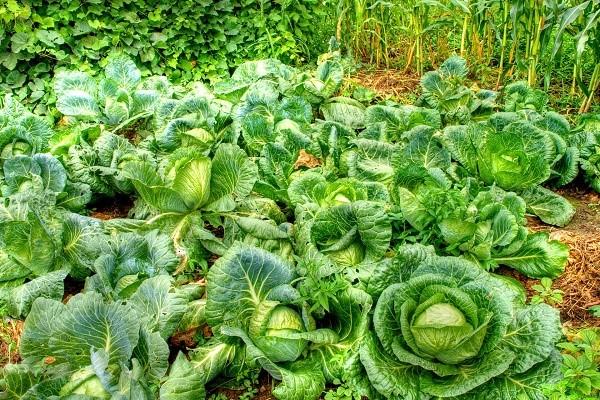 На Руси капуста выращивается издавна, именно поэтому она стала неотъемлемым элементом множества исконно-русских блюд