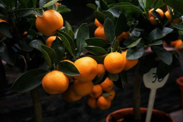 Вызревшие дома плоды могут быть довольно крупными