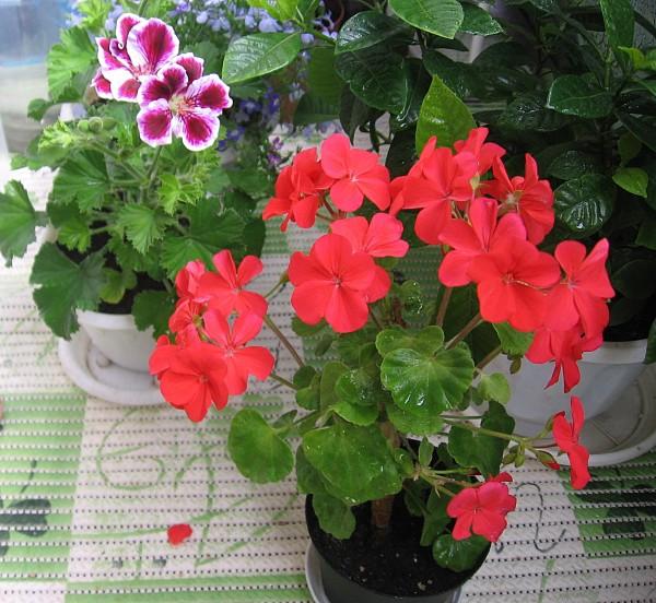 Бутоны цветка чем-то похожи на клюв аиста
