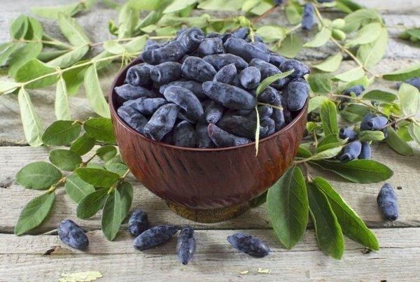 Съедобные ягоды – темно-синего цвета