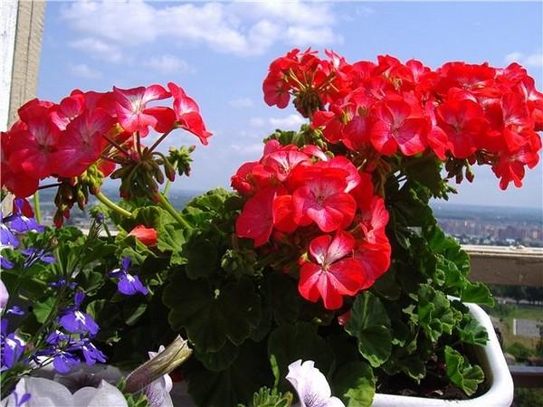 Такому цветку необходимо естественное освещение