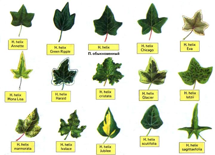 Из всего многообразия лучше предпочесть Плющ обыкновенный (Hedera helix), который, в свою очередь, отличается внушительным списком разновидностей