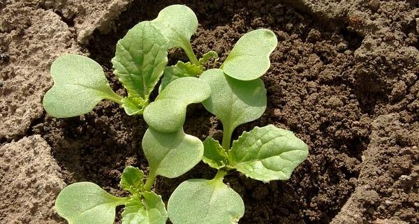 Чтобы капуста правильно росла, ее посевом нужно заниматься в правильные даты