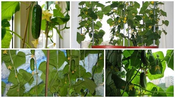 Сразу после посадки семян соорудите на окне опору или сетку, по которой будут плестись огурцы во время своего роста