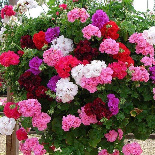 Чаще всего разводят красную и розовую пеларгонии