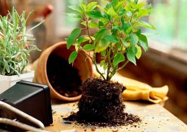 В почве для растения должны быть и торф, и песок