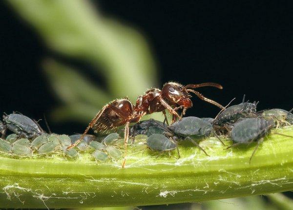 Если на участке есть тля, значит, муравьи пришли за ней