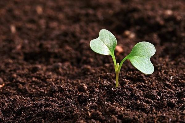 Лучше всего рассаду высаживать в почву, которая подходит капусте по составу