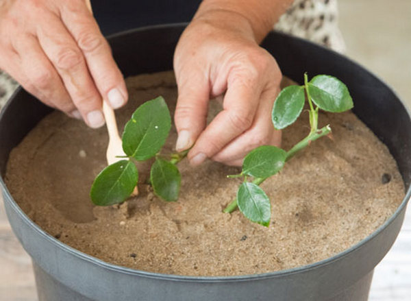 Можно размножать жимолость с помощью семян, черенков