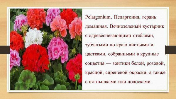 Раньше такой цветок называли геранью