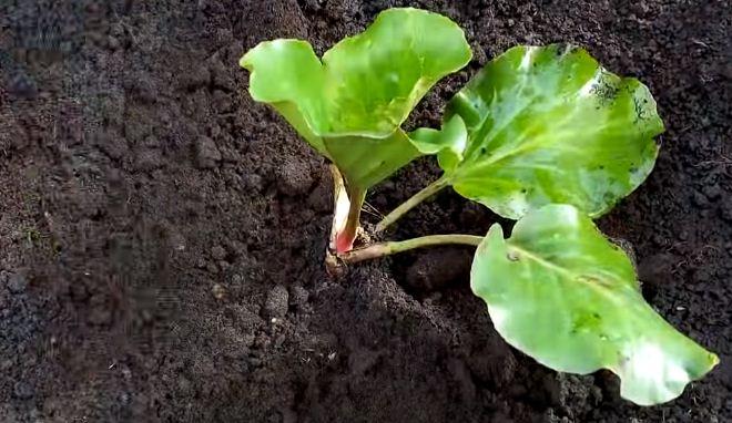 Засыпают корни землей