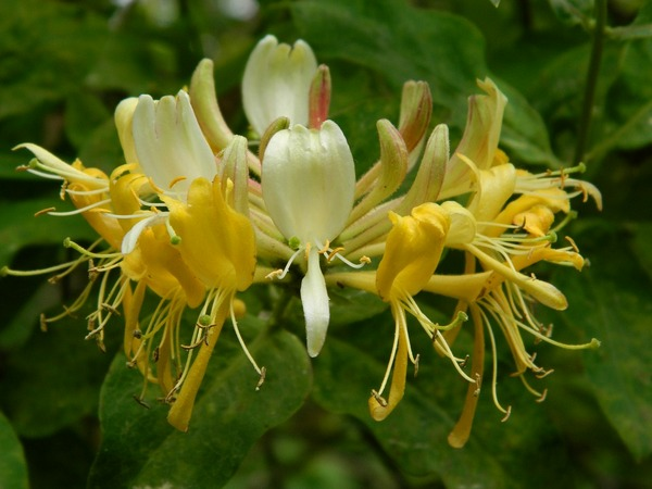 В начале сезона распускаются цветы желтого цвета