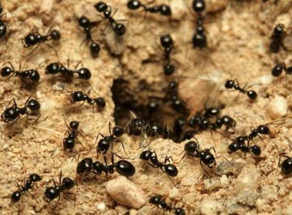 Благодаря ходам, которые разрываются муравьями, земля обогащается кислородом