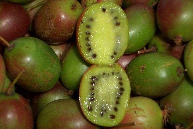 Актинидия размножается семенами и вегетативно