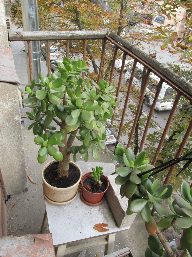 Воздушные ванны полезны для растения