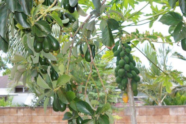 Вот так растут плоды