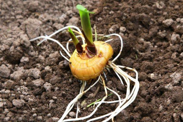 Высаживая луковицы соблюдайте правила агротехники
