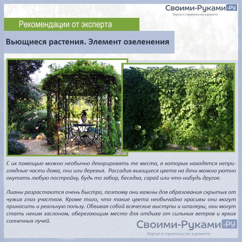 Вьющиеся растения. Элемент озеленения