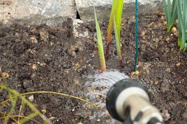 Гладиолусам нужен регулярный полив, они плохо переносят засуху