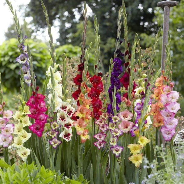 Гладиолусы станут украшением любого цветника!