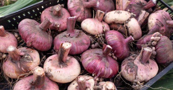 Готовые к хранению луковицы