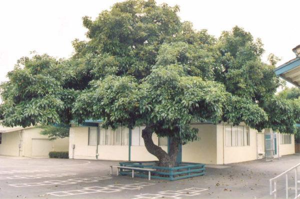 Дерево авокадо в естественной среде