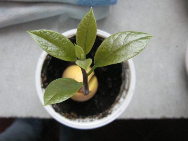 Дерево авокадо сверху