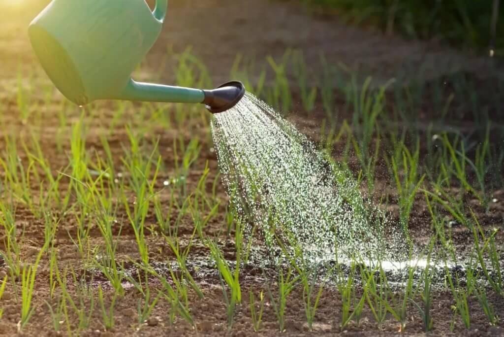 Для увеличения зеленой массы луку необходима увлаженная почва