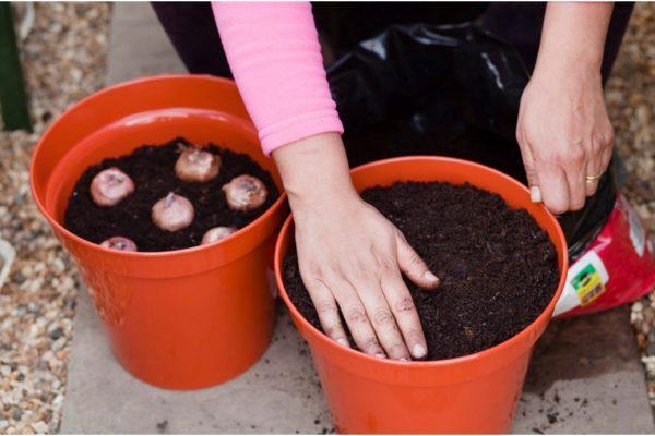 Заглубите луковицы и прикройте слоем земли